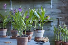 These Bletilla plants are must-haves for a romantic garden style.♡  #terracotta www.gardenorchid.com ©Anthura