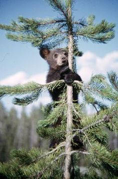 American black bear cub in tree. 1958-1988. W. & G. Garst Photographic Collection, University Archive, Archives and Special Collections, CSU, Fort Collins, CO
