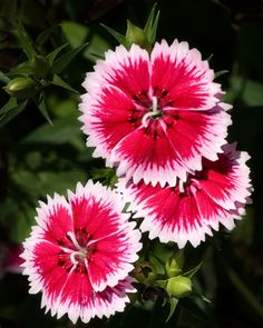 Clavelitos chinos / Chinese carnation #carnations #flowers