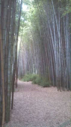 Bamboo in park. Maggie Valley, NC