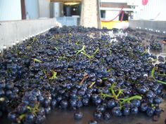 Pinot Noir Grapes Sorting Table Crater Rim Winery