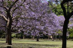 El Jacarandá, símbolo de la primavera en Buenos Aires | Noticias | Buenos Aires Ciudad - Gobierno de la Ciudad Autónoma de Buenos Aires