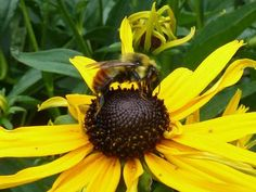 Want to positively impact pollinators? Plant these Summer flowers!                      – Bluegrass Bee