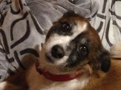 """2015 - My dearest Sienna. She had so much spunk, loved to eat, and go for our """"walkies"""" no matter if it rained or snowed. Pet Memorials, Memories, Pets, Animals, Memoirs, Souvenirs, Animales, Animaux, Pet Memorial Stones"""