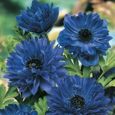 """Lord Lieutenant Anemone Planted en masse, these double, deep military-blue flowers make a bold statement in beds or borders—not to mention striking bouquets. Each bulb produces a handful of big, poppy-like, longlasting blooms. Grows 8-10"""" tall in full sun to partial shade. Blooms in late spring to early summer. Zones 6-10. 7-8 cm bulbs. Anemone 'Lord Lieutenant'"""