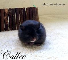 Calleo chs in blue hamster Blue, Animals, Animales, Animaux, Animal, Animais