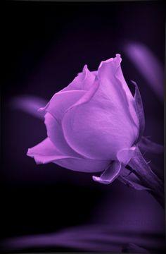 Rose on Velvet. | Flickr - Photo Sharing!