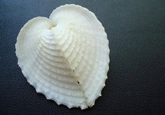 Heart Cockle 'True Heart' Seashells (5 pcs.) - Corculum Cardissa