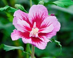 Hibiscus syriacus purple pillar