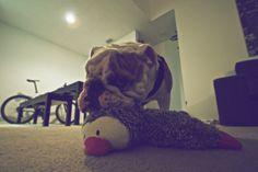 Bulldog. Bane. duck friend.