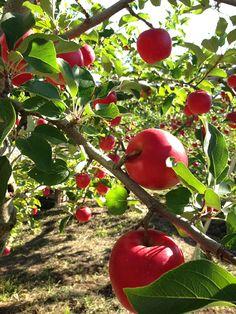 Apple farm ... Komoro, Nagano, Japan