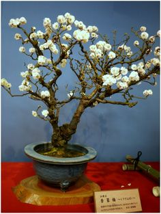 bonsai-plum-exhibition-in-nagahama.