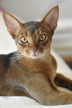 """[FACTOID: Noted for his ticked coat, usually fawn or blue, the intelligent Abyssinian will sit quietly by your side or play with you for hours -----[ABY: """" NOTS ALWAYS."""""""