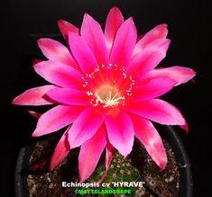 Echinopsis hybrid 'Hyrave'