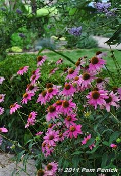 Another one of my FAVORITE perennials....Purple Coneflower. Such a reliable source of color every summer. :-)