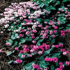 Hardy Cyclamen is prized for its dainty late winter and early spring flowers and lovely heart-shaped foliage that stays attractive all winter. It thrives where few other plants will grow -- in dry shade under trees!