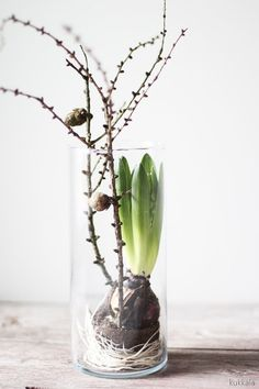 Hyacinth LOVES Larch- Hyasintti LOVES lehtikuusi Hyacinths, simple glass containers and larch twigs. It contains ingredients for larch hyacinths. The branches bring stunning … - Spring Decoration, Decoration Christmas, Deco Nature, Spring Bulbs, Arte Floral, Deco Table, Types Of Flowers, Glass Containers, Ikebana