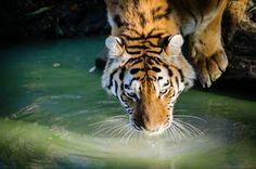 Drinking tiger | par Mathias Appel