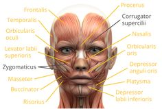 Labelled Human Face Human Face With Name Tag: Name Of Muscles On Arm - Human Anatomy - Human Body Pictures Face Muscles Anatomy, Muscles Of Facial Expression, Muscles Of The Face, Facial Anatomy, Muscle Anatomy, Facial Muscles, Human Anatomy, Names Of Muscles, Facial Bones