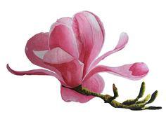 Watercolour - Magnolia Blossom