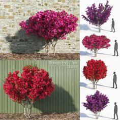 3D Model Bougainvillea Trees - 3D Model