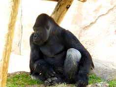 Gorilla at Fort Worth Zoo Fort Worth Zoo, Photography For Beginners, Monkey, Animals, Jumpsuit, Animales, Animaux, Monkeys, Animal