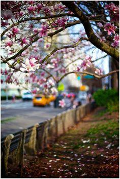 Magnolias in Central Park, NYC
