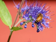 Blue Flowers: Picture of Caryopteris Flowers