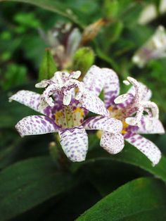 Tricyrtis Miyazaki Hybrids-aka japanese toad lily, arctic orchid-yes please! Fall Flowers, Colorful Flowers, Beautiful Flowers, Full Sun Perennials, Flowers Perennials, Shade Perennials, Autumn Garden, Summer Garden, Rain Garden