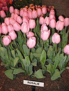 Tulips Tulips Tulips