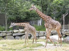 Giraffes Mother And Daughter by Charadm. Please Like http://fb.me/go4photos and Follow @go4fotos Thank You. :-)