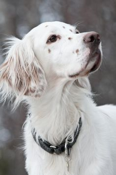 """Click visit site and Check out Cool """"English Setter"""" T-shirts. This website is superb. Tip: You can search """"your name"""" or """"your favorite shirts"""" at search bar on the top."""