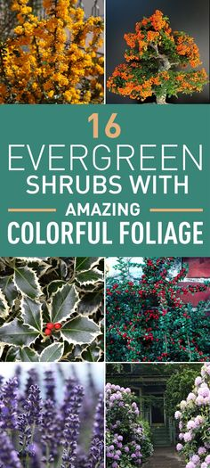 When all deciduous trees and flowers drop their leaves as the winter approaches, evergreen plants are there to add the sense of life to your garden. They are certainly a backbone of any garden or backyard. What's more, if you choose well, these evergreens can add a color to your garden even during winter. Here is the list of only a few of the most amazing evergreen shrubs that will provide winter or autumn interest and year-round color to your garden.