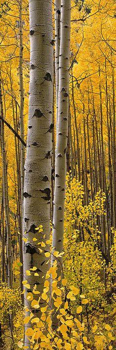 Aspen Intimacy Lite Photograph by Barry Bailey - Aspen Intimacy Lite Fine Art…