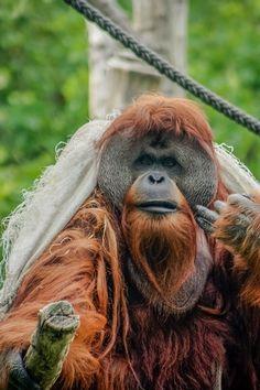 "Orangutan - wearing a burlap ""robe"" he made."