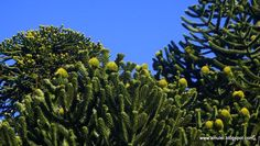 """Stunning conifer > """"@patagonia_flora:  ,#Araucaria araucana and the cones with 160-180 seeds, wich fall in autumn pic.twitter.com/nK38ZXKoLJ"""""""