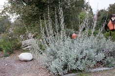 Sage White Sage Salvia Apiana Organic 30 seeds per pack Heirloom Medicinal GMO Free Garden Shrubs, Garden Plants, Backyard Plants, Dry Garden, Sage Plant, California Native Plants, California Garden, Plant Images, Drought Tolerant Plants