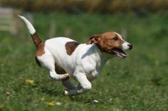 photo chien de race Jack Russell