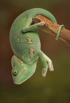 Veiled Chameleon by Christopher Schlaf
