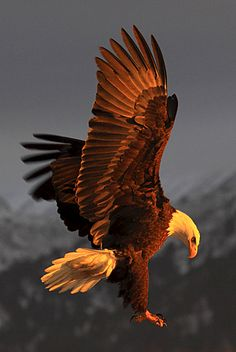 """High Quality Stock Photos of """"accipiter"""" Bald Eagle Pictures, Eagle Images, Beautiful Dark Art, Beautiful Birds, Skull Girl Tattoo, Eagle Wallpaper, Eagle Painting, Patriotic Pictures, Night Scenery"""