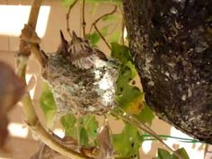 This is story of how a man-made hummingbird's nest was fashioned to save a hummingbird family from near disaster. The original nest was infested with bird mites which drove the baby chicks to abandon their nest. One of the baby hummers fell to the.