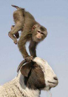 monkey acrobatics on goat's horns
