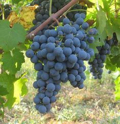 """A delightfully spicy varietal, carmenere is known as """"Chile's own signature grape."""" This one is interesting because the varietal died. Chilean Wine, Wine Varietals, Different Wines, Types Of Wine, Expensive Wine, Wine Case, Growing Grapes, Red Grapes, Grow Organic"""