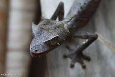 Risultati immagini per Satanic leaf Gecko