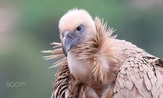 Griffon Vulture - Hai-Bar Carmel, Nature Reserve