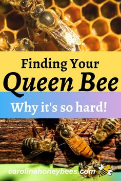 Learning how to find the queen bee quickly is a difficult task for many new beekeepers. These tips should help you as you learn more about finding your queen honey bee. #carolinahoneybees