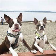 Beach Boys | Boston terrier