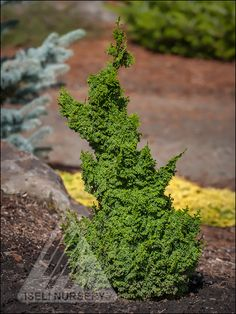 Chamaecyparis obtusa 'Gemstone'. This amazing gem would bring great value to any garden!