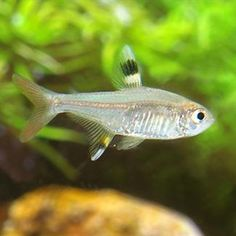 The Pristella tetra is a very peaceful fish, and is small enough to be eaten by larger fish so it should only be kept with other peaceful fish. Sea Aquarium, Saltwater Aquarium Fish, Aquarium Design, Planted Aquarium, Live Freshwater Fish, Freshwater Aquarium, Tetra Fish, Underwater House, Ichthys