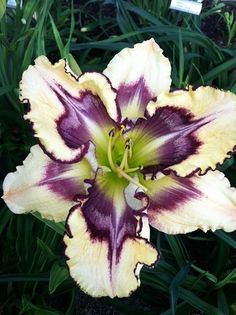 Jammin's Diamonds in the Sky Daylily - Singletary, 2012 Description : Ivory white self with a plum center Unusual Flowers, Amazing Flowers, Beautiful Flowers, Simply Beautiful, Amaryllis Bulbs, Lily Bulbs, Diamonds In The Sky, Bloom, Bulb Flowers